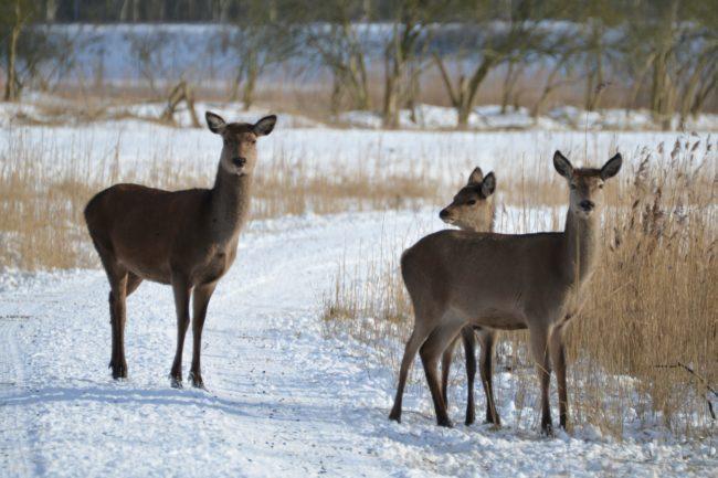 Rådjursfamilj räddades från svag is
