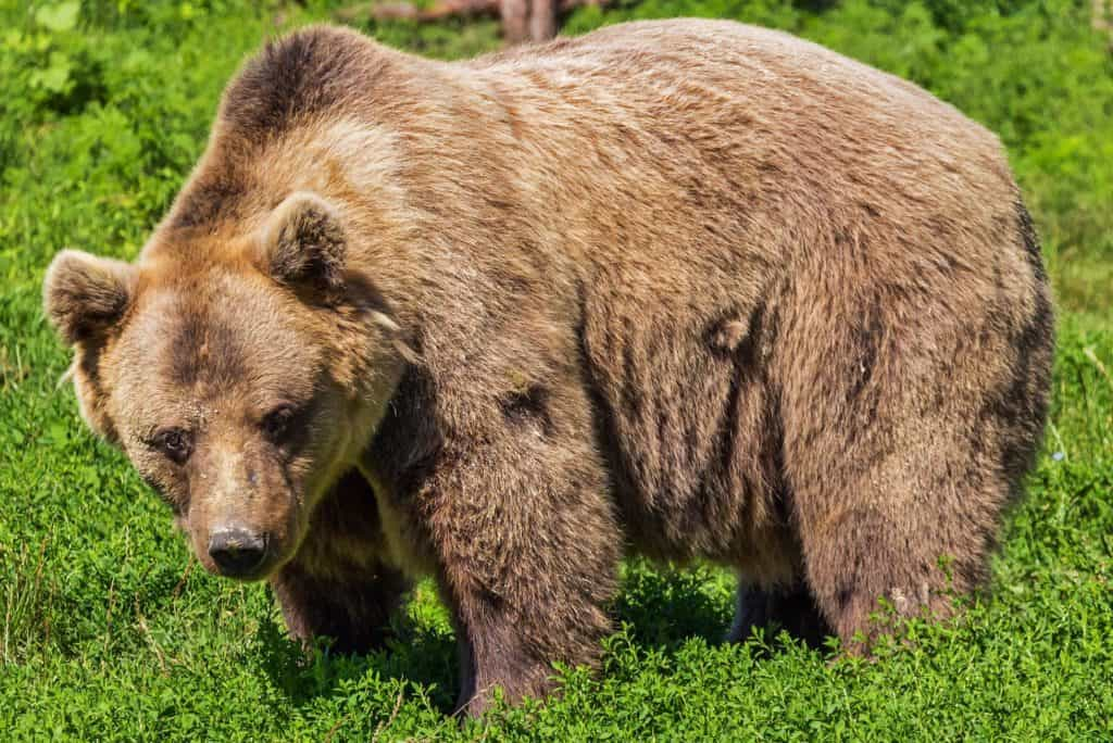Förskola i Lofsdalen vill sätta upp staket som skydd mot björnar