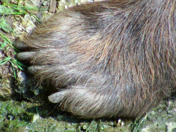 Jägare hittade björnram upphängd utanför Sveg