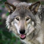 Jämthund attackerad av vargar