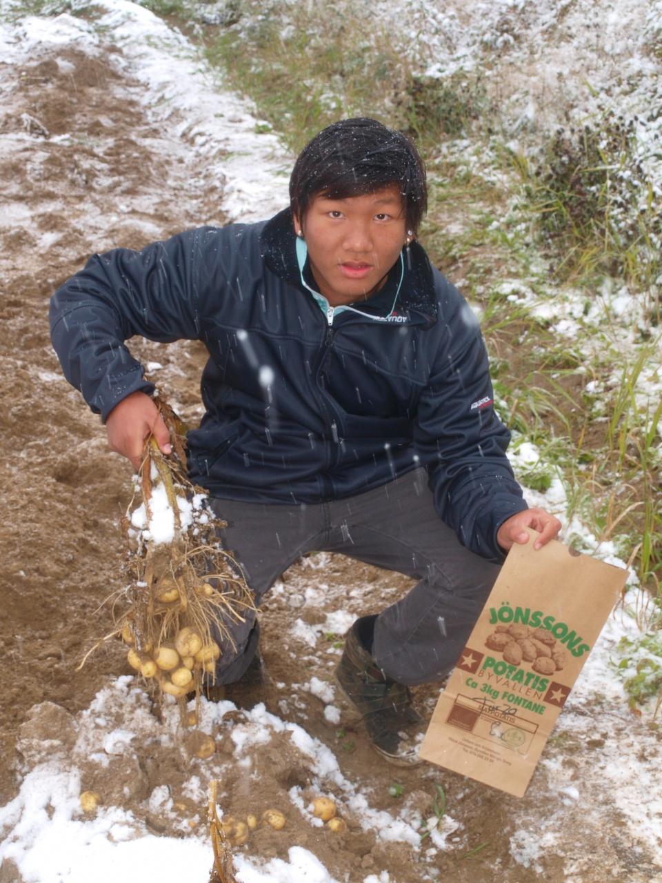 Lyckat potatisprojekt på Södra skolan