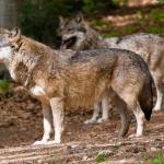 Två vargar sågs vid Övermon